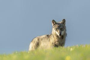 Der Wolf – wieder unter uns