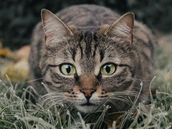 Die Katze - unser wildes Haustier