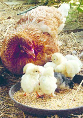 Osterküken: Die Ostertradition im Natur-Museum geht mit der Zeit