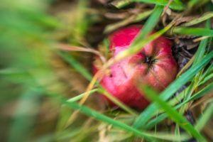 Apfel im Focus