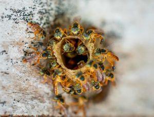 Ohne Honig hast du nichts zu essen. Über das Bienenwissen von Ayoréode im Gran Chaco, Südamerika