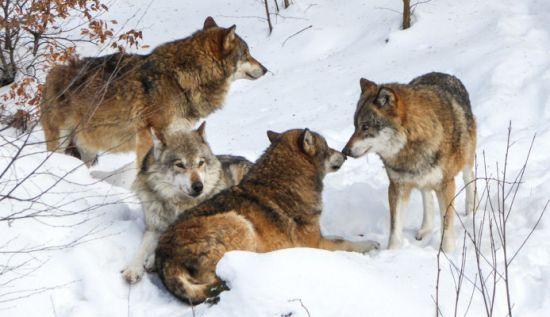 Der Wolf ist da
