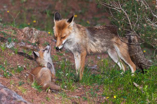 Der Rotfuchs – Jäger auf leisen Pfoten