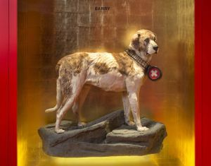 Barry – The legendary St Bernard Dog