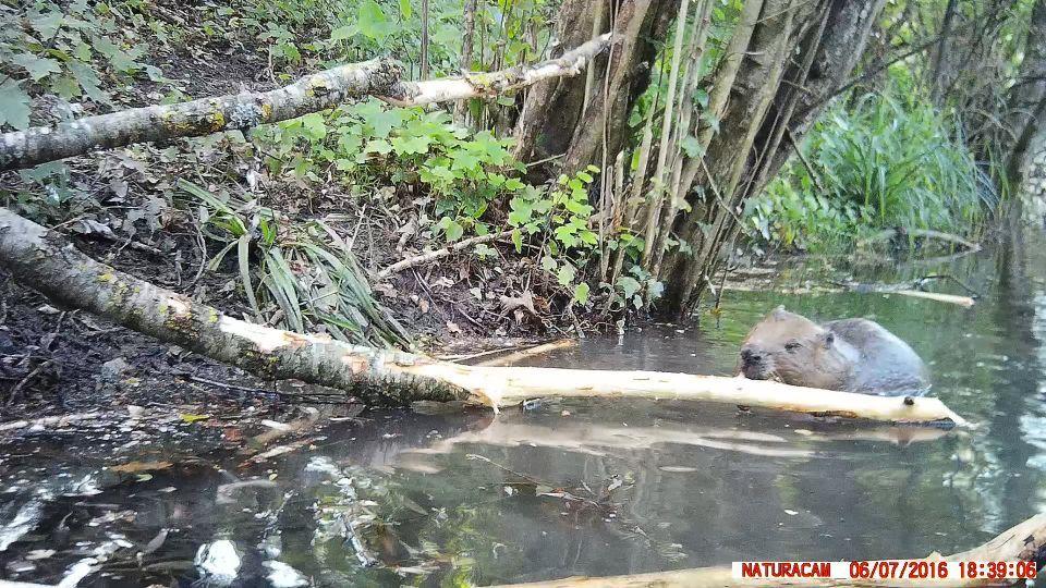 Le castor de la plaine de l'Orbe