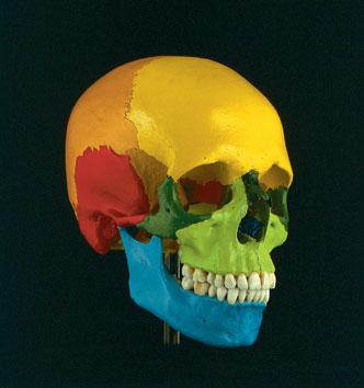 Schädel eines Erwachsenen, die Knochen verschiedenfarbig dargestellt