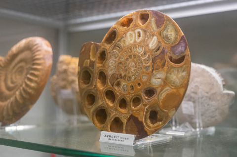 Fascinating fossils - Ammonites lived 400-240 million years ago in our primal seas.