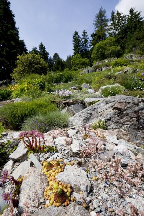 Massif de joubarbes © Jardin alpin Flore-Alpe / H. Maret