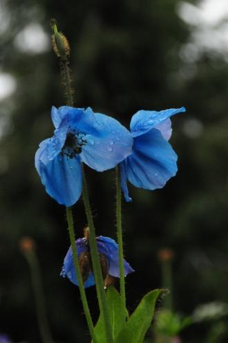 Meconopsis grandis / Grosser Scheinmohn