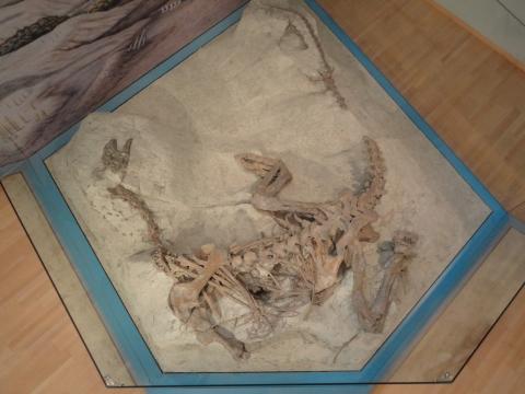 Vollständiges Plateosaurierskelett in originaler Fundlage
