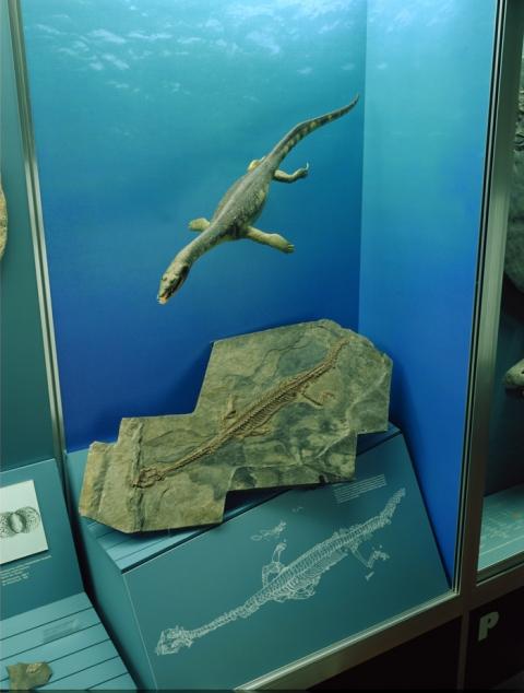 Ceresiosaurus calcagnii (Monte San Giorgio)