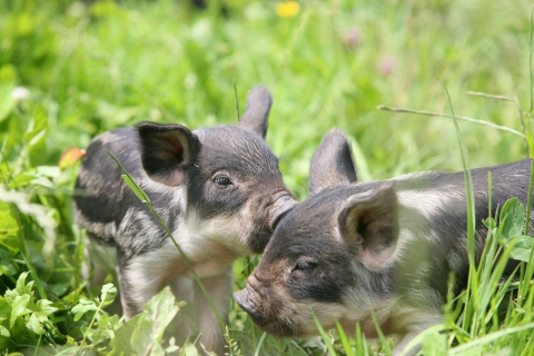 Junge Wollschweine im Tierpark