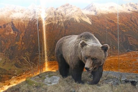 L'orso M13 nella sua nuova tana nel Museo poschiavino.