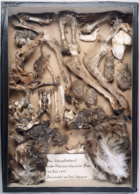 Von Carl Stemmler gesammelter Inhalt eines Steinadlerhorstes