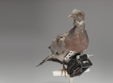 Le pigeon photographe
