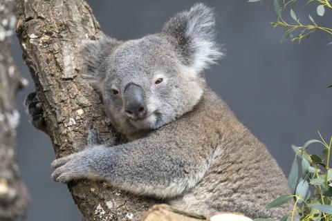 Koala. Foto: Zoo Zürich, Enzo Franchini