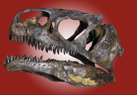 Allosaurier aus eigener Grabung
