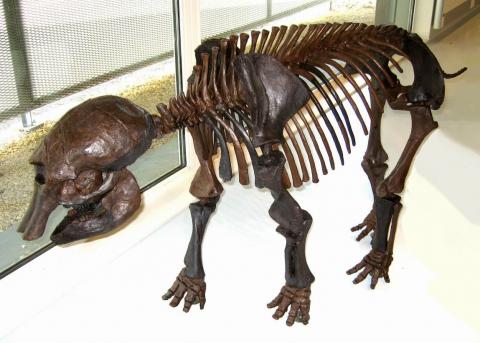 Reconstitution du squelette du bébé mammouth